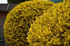 Kollased õied (anuwintschalek) Tags: nikond7200 40mm micronikkor austria niederösterreich wienerneustadt kevad frühling spring march 2019 kollane gelb yellow forsüütia põõsas õitsev õitsvadpuud strauch busch forsythie