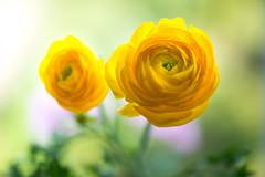 ranunculus 8380 (junjiaoyama) Tags: japan flower plant ranunculus yellow winter macro bokeh