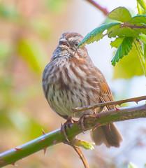 Tweet-tee-Pie. (Omygodtom) Tags: wildlife wild bokeh bird dof digital branch songsparrow song happy nature nikkor diamond star