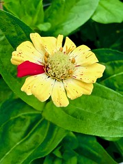 Celebrate the imperfect (krossbow) Tags: flower zinnia oddball imperfection unique standout