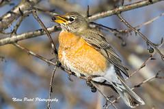 1S0A4624 (nitinpatel2) Tags: bird nature nitinpatel robin