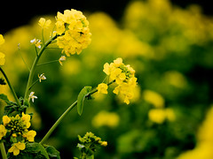 * (t*tomorrow) Tags: panasonic lumix gx8 100400mm flower 菜の花