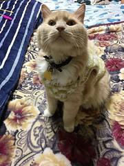 Norio Looks Up (sjrankin) Tags: 30march2019 edited animal cat norio tunic bed bedroom blanket kitahiroshima hokkaido japan