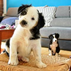 Zippy&Zappe (Enllasez - Enric LLaó) Tags: bordercollie perros perro dog dogs gossos gos puppies