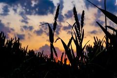 DSC00354 (enricowehmann) Tags: korn kornfeld natur landschaft abendstunde