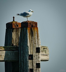 one leg (peter manintveld) Tags: meeuw seagull sky lucht leg poot grevelingenmeer bird vogel roest rust