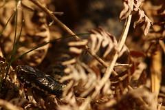 Hidding In The Shadows (Derbyshire Harrier) Tags: adder viper britishnativereptile britishnativesnake bracken 2019 spring march rspb nationaltrust peakdistrict peakpark shade shadow viperaberus snake derbyshire easternmoors male basking