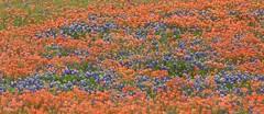 Sea of Color (Bill Jacomet) Tags: bluebonnet bluebonnets wildflower adventure tx texas washington county 2019 flower flowers