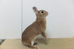 Ichigo san 1496 (Errai 21) Tags: いちごさん ichigo san  ichigo rabbit bunny cute netherlanddwarf pet ウサギ うさぎ いちご ネザーランドドワーフ ペット 小動物 1496