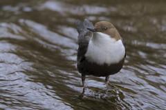 Merlo Acquaiolo (Polpi68) Tags: merlo acquaiolo birds bird birdwatching nature wildlife wild