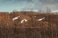 Freedom (chasingthelight10) Tags: events travel photography landscapes snowscenes places japan hokkaido yudanaka otherkeywords wildlife things japaneseredcapcrane japaneseredcrownedcrane