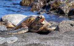Sea Turtle (allagill) Tags: turtle seaturtle animals island wildlife sealife beach shore