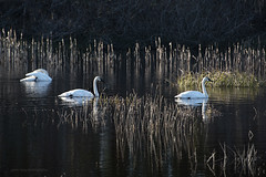 three swans sml (tesseract33) Tags: tesseract33 nikon light world art travel comox courtney colour d750 peterlang comoxphotographers nikond750 birds swans snowgeese marshland estuary waterbirds
