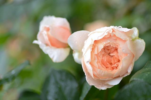 Обои капли, макро, роза, бутоны картинки на рабочий стол, раздел цветы - скачать