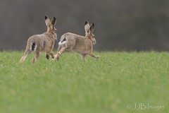 Hares. (JJB Images) Tags: amazingnature beautiful canon canoneos6d clear countryside closeup canonef600mmf4islens detail england focus fuji interesting image jjbimages lumix marlborough minolta nikon nature natural panasonic pewsey rural rspb wiltshire woodlands wildlife xl zoom zoomed