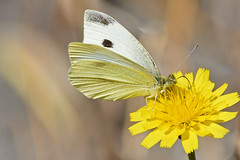 White Butterfly (bevanwalker) Tags: flower yellow butterfly white plant insect fresh time summer outdoor nature wildlife pose nectar wings moment closeup camera photography d750 nikon lens 300mmf28tc17e11 colour