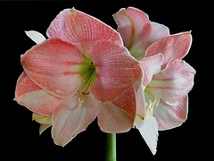 Amaryllis. Hippeastrum. (Jesús 56) Tags: bulaklak flower زهرة fleur flor fiore цветочные λουλούδι 花 çiçek flors flores flowers fleurs fiori blumen