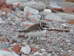 Semipalmated Plover 3 (D. S. Hałas) Tags: halas hałas canada ontario yorkcounty toronto tommythompsonpark lesliestreetspit chordata sarcopterygii aves charadriiformes charadriidae charadriussemipalmatus semipalmatedplover plover bird