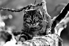 Forest cat (Zèè) Tags: cat chat cats katze tabby tiggy tree black blanc blackandwhite bw white noir noirblanc nature monochrome