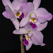 "Laelia anceps ""Pink Perfection"" – Alex Nadzan"