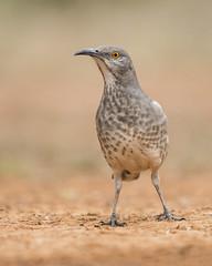 Curve-billed thrasher (tinahay) Tags: riograndevalley birds alamo texas nature santaclararanch