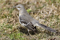 Northern Mockingbird (jt893x) Tags: 150600mm bird d500 jt893x mimuspolyglottos mockingbird nikon nikond500 northernmockingbird sigma sigma150600mmf563dgoshsms songbird thesunshinegroup coth alittlebeauty coth5 sunrays5