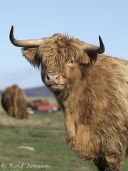 Bad hair day (rjonsen) Tags: highland cow koo scotland alba cattle field depth dof blue sky