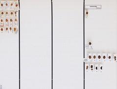 coleoptera-coccinellidae-harmonia-myrrha-sospita-calvia-R1-5670 (nmbeinvertebrata) Tags: ccbync nmbe5670 64124 coleoptera coccinellidae harmonia myrrha sospita calvia r1