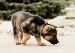 2019-03-02, Mel x Dezi Green Male-1 (Falon167) Tags: gsd germanshepherddog german shepherd dog puppy mel dezi melxdezi litter bessie puppies