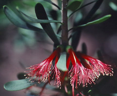 Calothamnus quadrifidus ssp homalophyllus, Kings Park, Perth, WA, 22/12/94 (Russell Cumming) Tags: plant calothamnus calothamnusquadrifidus calothamnusquadrifidushomalophyllus myrtaceae kingspark perth westernaustralia
