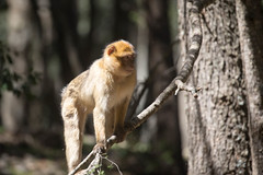 Barbary macaque (gaetano.merola) Tags: bertuccia monkey scimmia macaco ifrane morocco marocco atlas
