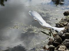 Snowy Egret (Egretta Thula) taking off (Truman James) Tags: audubonsanctuary florida egrettathula snowyegret