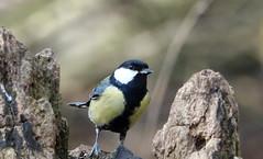 Great Tit (hedgehoggarden1) Tags: greattit bird wildlife nature sonycybershot animal creature suffolkwildlifetrust lackfordlakes suffolk eastanglia uk sony