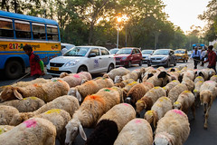 Street for all (SaumalyaGhosh.com) Tags: street lamb lambs india kolkata color colour people car vehicle light sun afternoon fuji fujifilm xt2