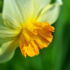 Daffodils. (xbhbwify72) Tags: flower floral nature garden botany horticulture gardening