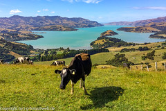 New Zealand (xrxss15) Tags: animalia animals bay bucht cattle cow duvauchelle hausrind hill hügel kuh landscape landschaft livestock meadow meer natur nature neuseeland newzealand nutztier sea southisland südinsel tasmansea tasmanischesee tiere water wiese