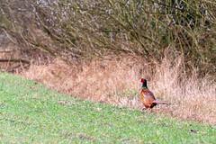 first outing (rplodz) Tags: faisan bird canon europe lodz poland polska nature natura wildlife naturephotography przyroda bazant phasianus