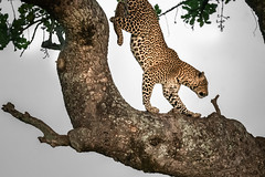 Leaping Leopard (helenehoffman) Tags: africa kenya pantheraparduspardus felidae mammal conservationstatusvulnerable cat feline africanleopard leopard bigcat maasaimaranationalreserve animal