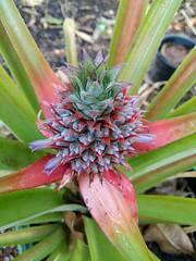 Ananas comosus (L.) Merr. Bromeliaceae-Pineapple 6 (SierraSunrise) Tags: bromeliaceae bromeliads esarn flowers fruit isaan nongkhai phonphisai pineapple plants purple thailand