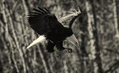 On the prowl - Bald Eagle (foto tuerco) Tags: bald eagle hovering flight oregon