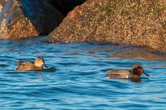 Green-winged Teal (mattbpics) Tags: bird duck waterfowl greenwingedteal 70d canon tamron 150600 150600mm longbeach stratford tamronsp150600mmf563divcusda011