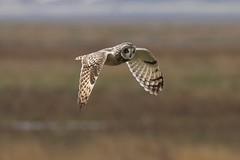 0M2A6164 Short-eared Owl (kevin_livesey) Tags: wildlife nature birdwatching bird shortearedowl