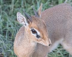 Kirk's dikdik (Mark Vukovich) Tags: dikdik antelope mammal tanzania kirks