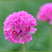 Pink Armeria