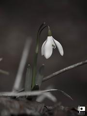Snowdrop (Ivica Pavičić) Tags: