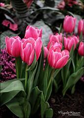 Happy Spring!!! (angelakanner) Tags: canon70d 24mmpancake hicksnursery longisland tulips pink