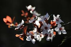 Vive le printemps (Croc'odile67) Tags: nikon d3300 sigma contemporary nature fleurs flowers printemps spring fruhling