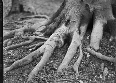 Roots (Peter Branger) Tags: activeassignmentweekly tree trunk manual roots blackwhite mamiya645af rollfilm analogue ilford