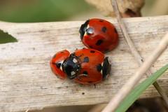 Ladybird Lovin at Titchfield Canal (Art-G) Tags: insect insects ladybird macro titchfieldcanal titchfield hampshire uk canon eos7dmkii tamron90mmucvsd sundaylights