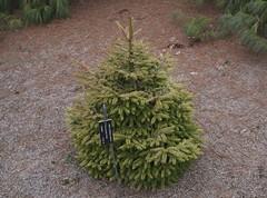 Picea orientalis 'Firefly', 2019 photo (F. D. Richards) Tags: harpercollectionofraredwarfconifers hiddenlakegardens tiptonmi hrh bedh michigan usa